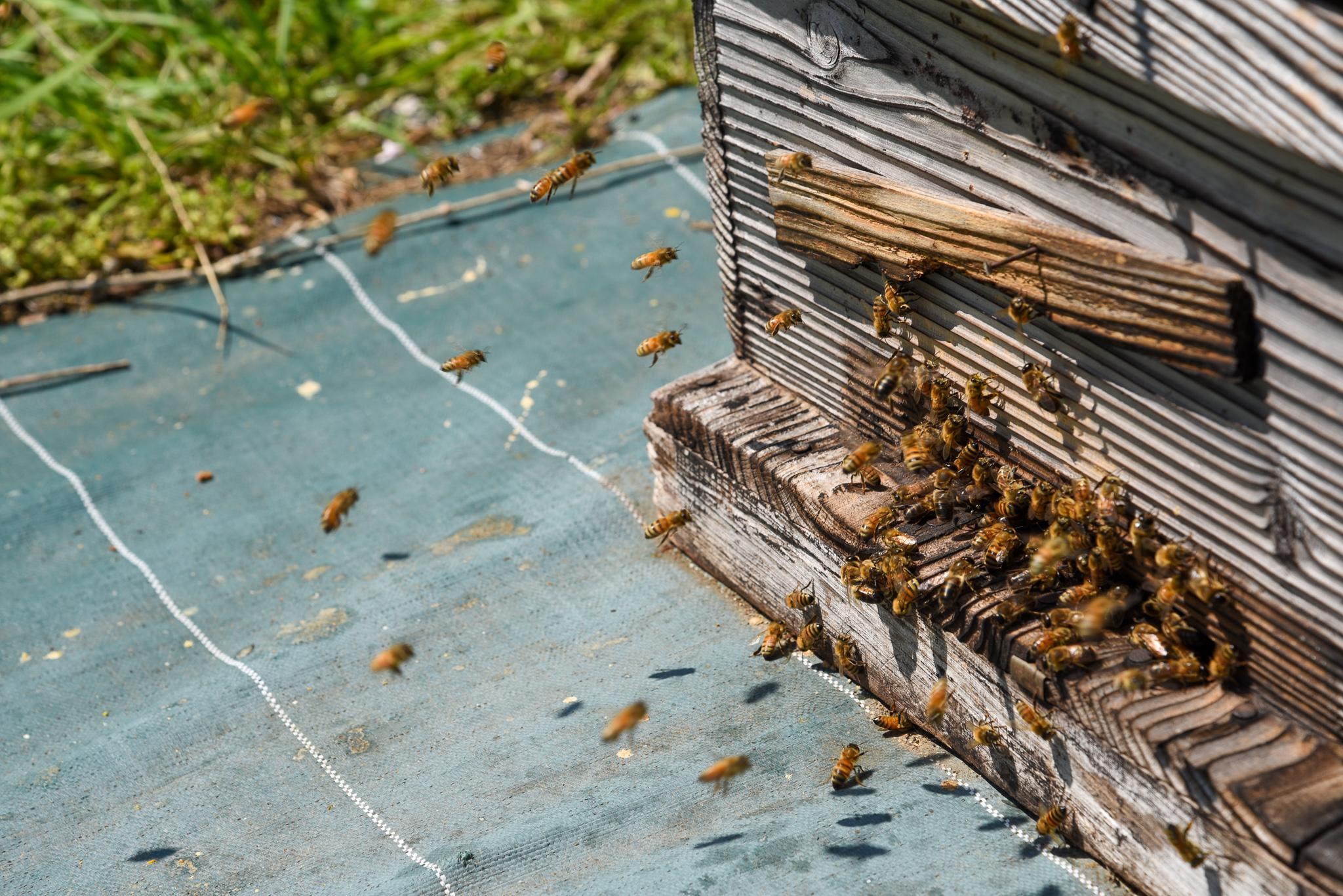 飛び回るミツバチ